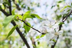 Ανθίζοντας μήλο κλάδων Στοκ Φωτογραφία