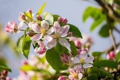 Ανθίζοντας μήλο την άνοιξη Στοκ εικόνες με δικαίωμα ελεύθερης χρήσης