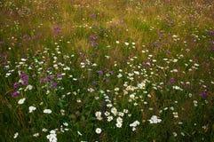 Ανθίζοντας μαργαρίτες σε ένα λιβάδι το καλοκαίρι Άνθιση λουλουδιών τομέων Στοκ Εικόνα