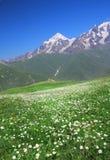 Ανθίζοντας μαργαρίτες στο λιβάδι βουνών Γεωργία, η κύρια καυκάσια κορυφογραμμή στοκ φωτογραφία με δικαίωμα ελεύθερης χρήσης