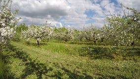 Ανθίζοντας μεγάλα όμορφα δέντρα μηλιάς στο βιομηχανικό κήπο Timelapse 4K απόθεμα βίντεο