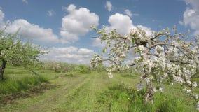 Ανθίζοντας μηλιάς κήπος οπωρώνων δέντρων βιομηχανικός Timelapse 4K απόθεμα βίντεο