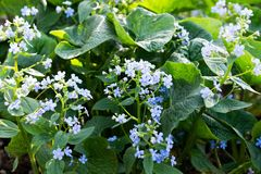 Ανθίζοντας μπλε λουλούδια μποράγκων μια ηλιόλουστη ημέρα στοκ φωτογραφίες με δικαίωμα ελεύθερης χρήσης
