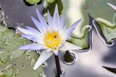 Ανθίζοντας μπλε λίμνη κρίνων νερού στον ινδό ναό, Nusa Penida, Ινδονησία Στοκ Φωτογραφίες