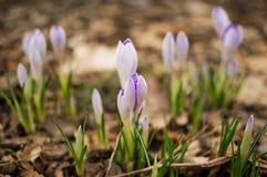 Ανθίζοντας μπλε κρόκος δασικό λευκό άνοιξη λουλουδιών Στοκ εικόνες με δικαίωμα ελεύθερης χρήσης