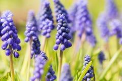 Ανθίζοντας μπλε primrose λουλούδια Muscari Στοκ Εικόνα