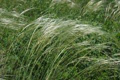 Ανθίζοντας νέα χλόη φτερών Feather-grass σε ένα υπόβαθρο της πράσινης χλόης στοκ εικόνες με δικαίωμα ελεύθερης χρήσης