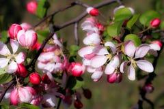 ανθίζοντας οπωρώνας Άνθη άνοιξη δέντρων της Apple Στοκ φωτογραφίες με δικαίωμα ελεύθερης χρήσης