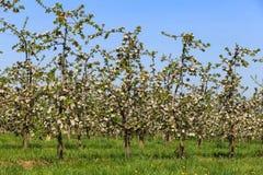 Ανθίζοντας οπωρώνας δέντρων της Apple Στοκ εικόνα με δικαίωμα ελεύθερης χρήσης