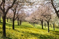 Ανθίζοντας οπωρώνας κερασιών Διάθεση άνοιξη στον οπωρώνα Ανθίζοντας κεράσια και δέντρα μηλιάς Ρόδινος και φρέσκος πράσινος Στοκ φωτογραφίες με δικαίωμα ελεύθερης χρήσης