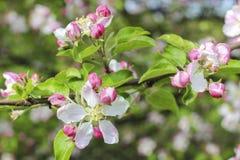 Ανθίζοντας οπωρώνας κλάδων μήλων την άνοιξη Στοκ φωτογραφία με δικαίωμα ελεύθερης χρήσης