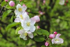 Ανθίζοντας οπωρώνας κλάδων μήλων την άνοιξη Στοκ εικόνες με δικαίωμα ελεύθερης χρήσης