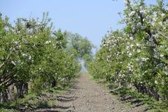 Ανθίζοντας οπωρώνας μήλων Ενήλικη άνθιση δέντρων στον οπωρώνα μήλων Στοκ φωτογραφία με δικαίωμα ελεύθερης χρήσης