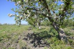 Ανθίζοντας οπωρώνας μήλων Ενήλικη άνθιση δέντρων στον οπωρώνα μήλων Στοκ εικόνα με δικαίωμα ελεύθερης χρήσης