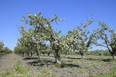 Ανθίζοντας οπωρώνας μήλων Ενήλικη άνθιση δέντρων στον οπωρώνα μήλων Στοκ Εικόνες