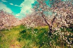 Ανθίζοντας οπωρώνας μήλων μια ηλιόλουστη ημέρα άνοιξη Στοκ εικόνες με δικαίωμα ελεύθερης χρήσης