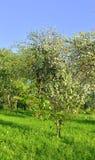 Ανθίζοντας οπωρώνας μήλων Στοκ Φωτογραφία