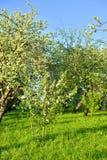 Ανθίζοντας οπωρώνας μήλων Στοκ Εικόνες