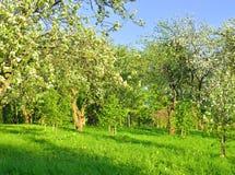 Ανθίζοντας οπωρώνας μήλων Στοκ φωτογραφία με δικαίωμα ελεύθερης χρήσης
