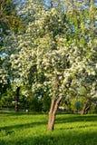Ανθίζοντας οπωρώνας μήλων Στοκ εικόνες με δικαίωμα ελεύθερης χρήσης