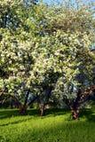 Ανθίζοντας οπωρώνας μήλων Στοκ Φωτογραφίες