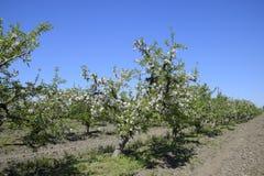 Ανθίζοντας οπωρώνας μήλων Ενήλικη άνθιση δέντρων στον οπωρώνα μήλων Κήπος φρούτων Στοκ Φωτογραφίες