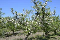 Ανθίζοντας οπωρώνας μήλων Ενήλικη άνθιση δέντρων στον οπωρώνα μήλων Κήπος φρούτων Στοκ εικόνες με δικαίωμα ελεύθερης χρήσης