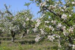 Ανθίζοντας οπωρώνας μήλων Ενήλικη άνθιση δέντρων στον οπωρώνα μήλων Κήπος φρούτων Στοκ Εικόνες