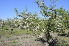 Ανθίζοντας οπωρώνας μήλων Ενήλικη άνθιση δέντρων στον οπωρώνα μήλων Κήπος φρούτων Στοκ εικόνα με δικαίωμα ελεύθερης χρήσης