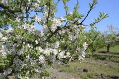 Ανθίζοντας οπωρώνας μήλων Ενήλικη άνθιση δέντρων στον οπωρώνα μήλων Κήπος φρούτων Στοκ Φωτογραφία