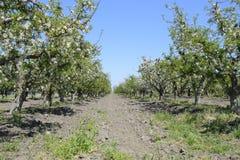 Ανθίζοντας οπωρώνας μήλων Ενήλικη άνθιση δέντρων στον οπωρώνα μήλων Κήπος φρούτων Στοκ φωτογραφία με δικαίωμα ελεύθερης χρήσης