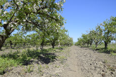 Ανθίζοντας οπωρώνας μήλων Ενήλικη άνθιση δέντρων στον οπωρώνα μήλων Κήπος φρούτων Στοκ Εικόνα