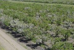 Ανθίζοντας οπωρώνας μήλων Ενήλικη άνθιση δέντρων στον οπωρώνα μήλων Κήπος φρούτων Στοκ φωτογραφίες με δικαίωμα ελεύθερης χρήσης
