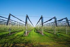 Ανθίζοντας οπωρώνας μήλων στη γεωργική φυτεία, στο θερινό ήλιο με την αντιχαλαζική αλιεία με δίχτυα για την προστασία ενάντια στο Στοκ φωτογραφία με δικαίωμα ελεύθερης χρήσης