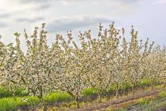 Ανθίζοντας οπωρώνας μήλων στο ηλιοβασίλεμα Στοκ Εικόνα