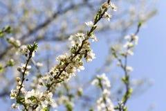 Ανθίζοντας οπωρώνας την άνοιξη Ανθίζοντας δέντρο οπωρώνων δαμάσκηνων με μια μέλισσα πλήρης άνοιξη λιβαδιών πικραλίδων ανασκόπησης Στοκ Φωτογραφίες