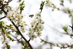 Ανθίζοντας οπωρώνας την άνοιξη Ανθίζοντας δέντρο οπωρώνων δαμάσκηνων με μια μέλισσα πλήρης άνοιξη λιβαδιών πικραλίδων ανασκόπησης Στοκ Φωτογραφία