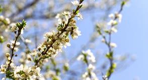 Ανθίζοντας οπωρώνας την άνοιξη Ανθίζοντας δέντρο οπωρώνων δαμάσκηνων με μια μέλισσα πλήρης άνοιξη λιβαδιών πικραλίδων ανασκόπησης Στοκ Εικόνες