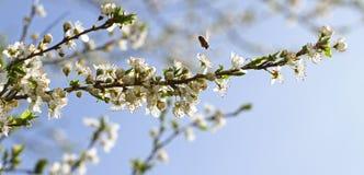 Ανθίζοντας οπωρώνας την άνοιξη Ανθίζοντας δέντρο οπωρώνων δαμάσκηνων με μια μέλισσα πλήρης άνοιξη λιβαδιών πικραλίδων ανασκόπησης Στοκ Εικόνα