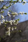 Ανθίζοντας οπωρώνας την άνοιξη Ανθίζοντας δέντρο οπωρώνων δαμάσκηνων σε ένα υπόβαθρο μπλε ουρανού πλήρης άνοιξη λιβαδιών πικραλίδ Στοκ εικόνα με δικαίωμα ελεύθερης χρήσης