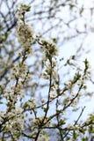 Ανθίζοντας οπωρώνας την άνοιξη Ανθίζοντας δέντρο οπωρώνων δαμάσκηνων σε ένα υπόβαθρο μπλε ουρανού πλήρης άνοιξη λιβαδιών πικραλίδ Στοκ Φωτογραφίες
