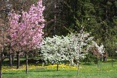 Ανθίζοντας οπωρώνες την άνοιξη Ανθίζοντας δέντρα οπωρώνων και λουλούδια υάκινθων πλήρης άνοιξη λιβαδιών πικραλίδων ανασκόπησης κί Στοκ Φωτογραφία