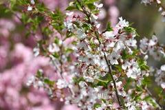 Ανθίζοντας οπωρώνες την άνοιξη Ανθίζοντας δέντρα οπωρώνων και λουλούδια υάκινθων πλήρης άνοιξη λιβαδιών πικραλίδων ανασκόπησης κί Στοκ Εικόνες