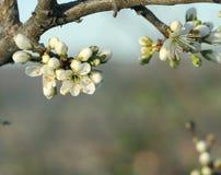 Ανθίζοντας λουλούδια δέντρων στον κλάδο Στοκ φωτογραφίες με δικαίωμα ελεύθερης χρήσης