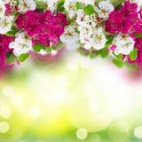 Ανθίζοντας λουλούδια δέντρων της Apple Στοκ φωτογραφία με δικαίωμα ελεύθερης χρήσης