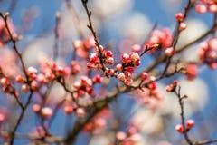 Ανθίζοντας λουλούδια βερίκοκων Στοκ Φωτογραφίες