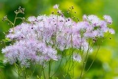 Ανθίζοντας λουλούδια θερινών κήπων Στοκ Εικόνες
