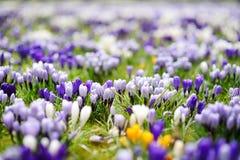 Ανθίζοντας λουλούδια κρόκων στο πάρκο μπλε σύννεφων πλήρες πράσινο τοπίο εστίασης πεδίων ημέρας οφειλόμενο λίγη μετακίνηση όχι εμ Στοκ Φωτογραφία