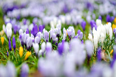 Ανθίζοντας λουλούδια κρόκων στο πάρκο μπλε σύννεφων πλήρες πράσινο τοπίο εστίασης πεδίων ημέρας οφειλόμενο λίγη μετακίνηση όχι εμ Στοκ εικόνα με δικαίωμα ελεύθερης χρήσης