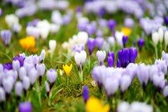 Ανθίζοντας λουλούδια κρόκων στο πάρκο μπλε σύννεφων πλήρες πράσινο τοπίο εστίασης πεδίων ημέρας οφειλόμενο λίγη μετακίνηση όχι εμ Στοκ Εικόνα